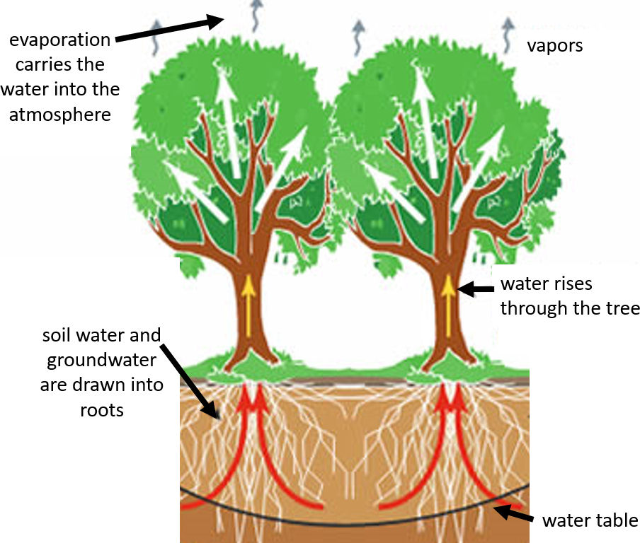 Figure showing trees drawing water from the soil and/or the water table to the atmosphere.